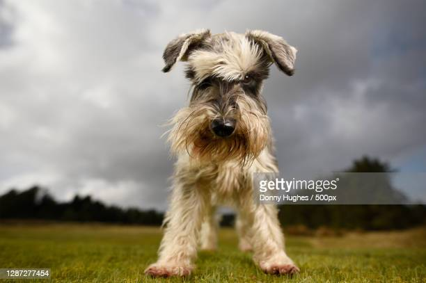 portrait of dog standing on field against cloudy sky,palacerigg country park,united kingdom,uk - schnauzer stock pictures, royalty-free photos & images