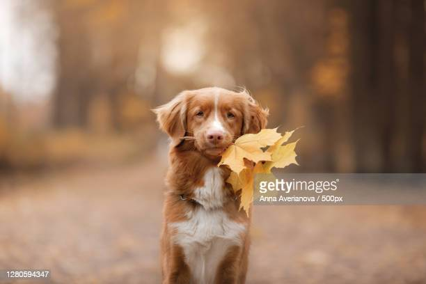 portrait of dog standing on field during autumn - nova scotia duck tolling retriever stock pictures, royalty-free photos & images