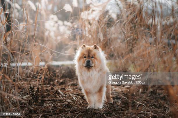 portrait of dog standing on field,poland - chow dog stock pictures, royalty-free photos & images