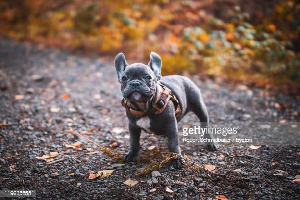 portrait of dog standing on road - french bulldog stock pictures, royalty-free photos & images