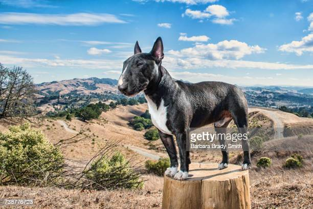 portrait of dog standing on tree stump - bull terrier stock photos and pictures