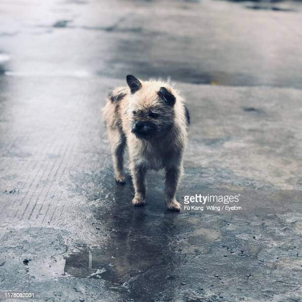portrait of dog standing on wet street outdoors - changzhou stock pictures, royalty-free photos & images