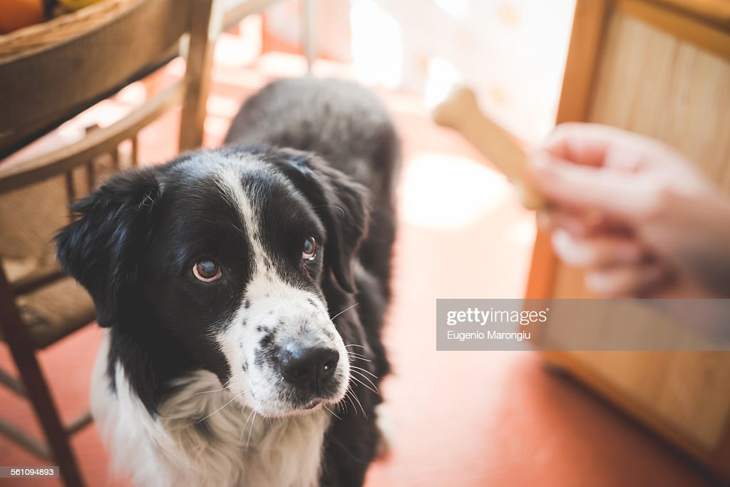 Portrait of dog staring at owners hand and dog biscuit : Stock Photo
