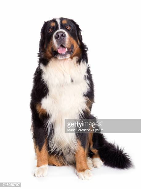 Portrait Of Dog Sticking Out Tongue Against White Background