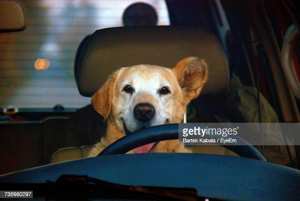 Portrait Of Dog Sticking Out Tongue In Car Seen Through Windshield