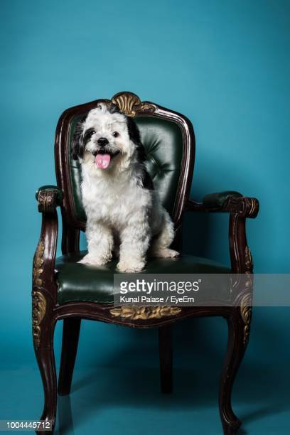 Portrait Of Dog Sticking Out Tongue On Chair Against Blue Background