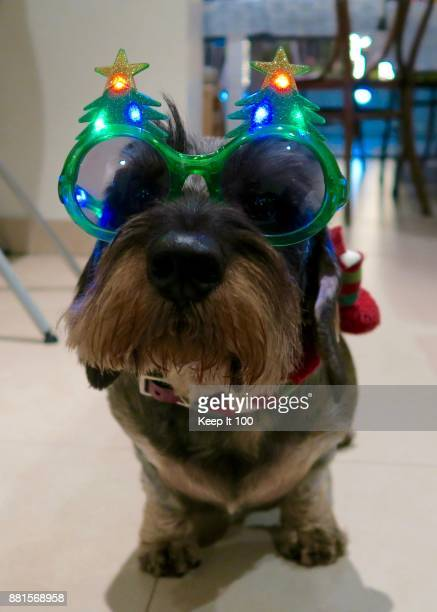 portrait of dog wearing christmas tree novelty sunglasses for christmas celebrations - dachshund christmas stock pictures, royalty-free photos & images