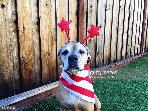 portrait of dog wearing headband and scarf during fourth of july - independence day stock pictures, royalty-free photos & images