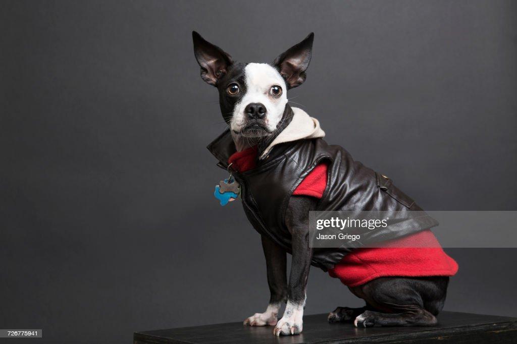 Portrait of dog wearing leather jacket : Stock Photo