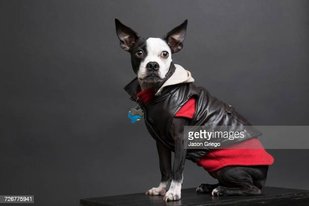Portrait of dog wearing leather jacket