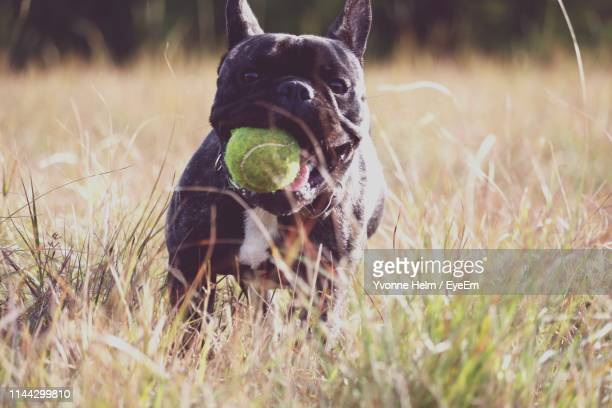 Portrait Of Dog With Ball In Mouth On Field