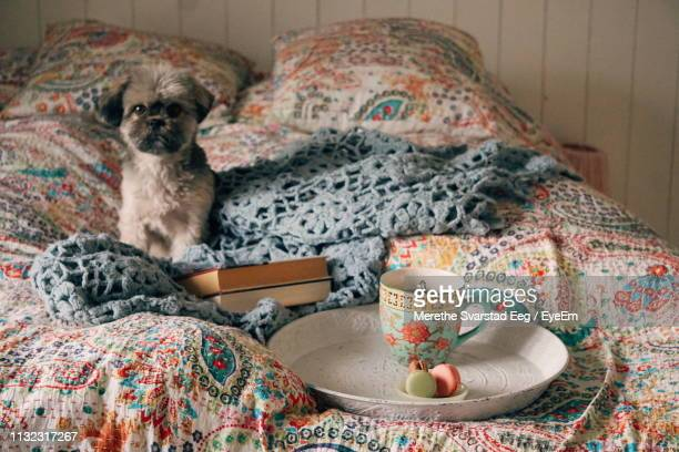 portrait of dog with breakfast sitting on bed at home - one animal stock pictures, royalty-free photos & images