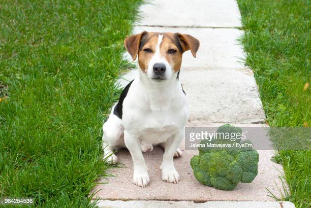 portrait of dog with broccoli sitting on footpath - jack russell terrier photos et images de collection