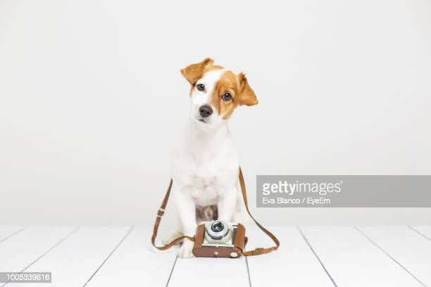 portrait of dog with camera on table against white background - jack russell terrier imagens e fotografias de stock