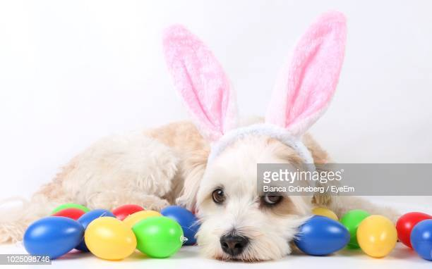 portrait of dog with colorful easter eggs against white background - dog easter stock pictures, royalty-free photos & images