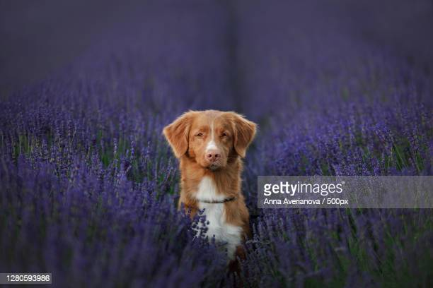 portrait of dog with dog on field - nova scotia duck tolling retriever stock pictures, royalty-free photos & images