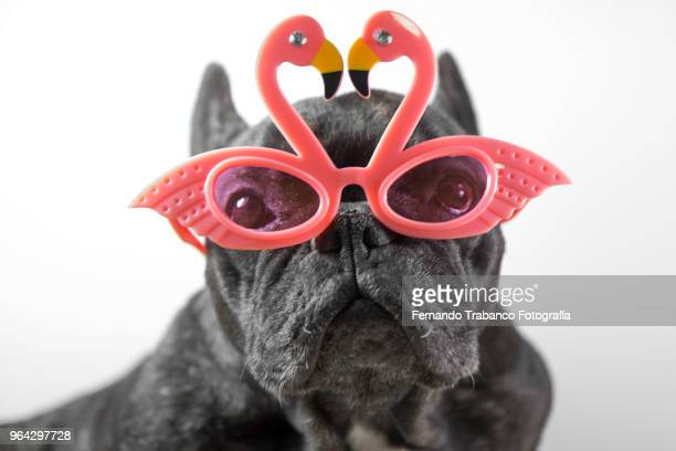 portrait of dog with glasses - flamingo heart stock pictures, royalty-free photos & images