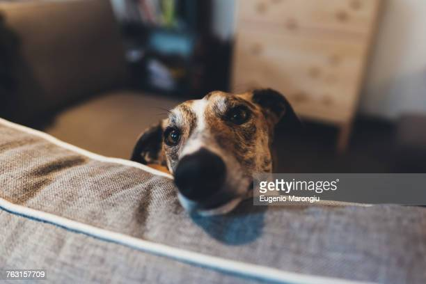 Portrait of dog with head resting on sofa