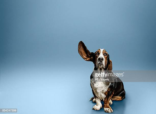 portrait of dog with one ear lifted - luisteren stockfoto's en -beelden
