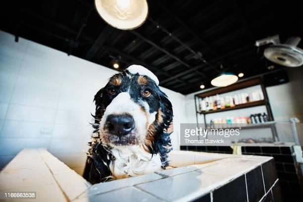 portrait of dog with soap bubbles on head while in bath at pet shop - animal doméstico - fotografias e filmes do acervo