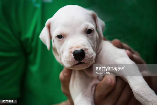 Portrait Of Dogo Argentino Puppy Stock Photo - Getty Images