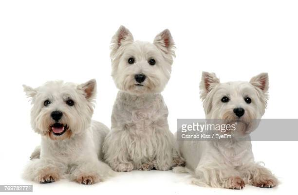 portrait of dogs against white background - west highland white terrier stock photos and pictures