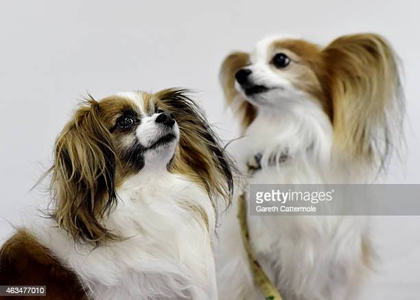 LR A portrait of dogs named Levi and Astro during the Westminster Kennel Club Dog Show at Pier 92 on February 14 2015 in New York City The finale of...