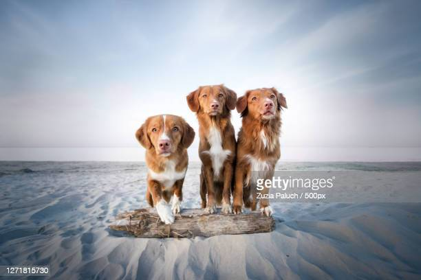 portrait of dogs on beach against sky, stegna, poland - nova scotia duck tolling retriever stock pictures, royalty-free photos & images