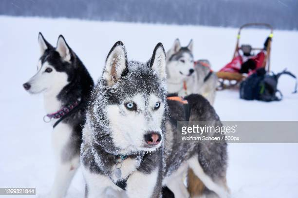 portrait of dogs on snow covered field, aas, norway - husky dog stock pictures, royalty-free photos & images