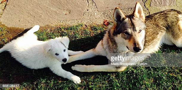 portrait of dogs relaxing on field during sunny day - pastore maremmano foto e immagini stock