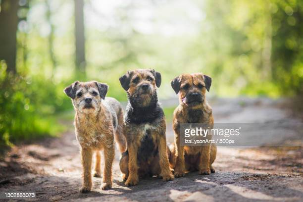 portrait of dogs sitting on footpath in forest - border terrier stock pictures, royalty-free photos & images