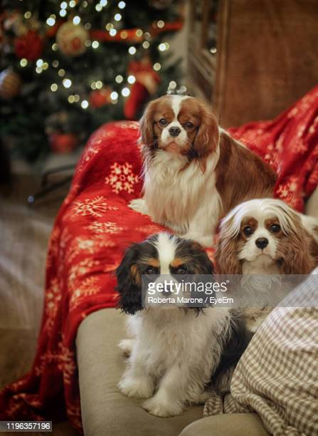 portrait of dogs sitting on sofa during christmas - cavalier king charles spaniel photos et images de collection