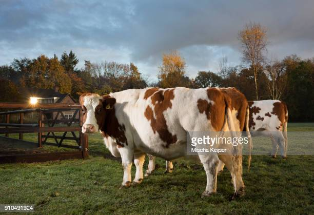 Portrait of domestic cow in field, at dusk