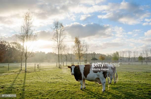 Portrait of domestic cows in field