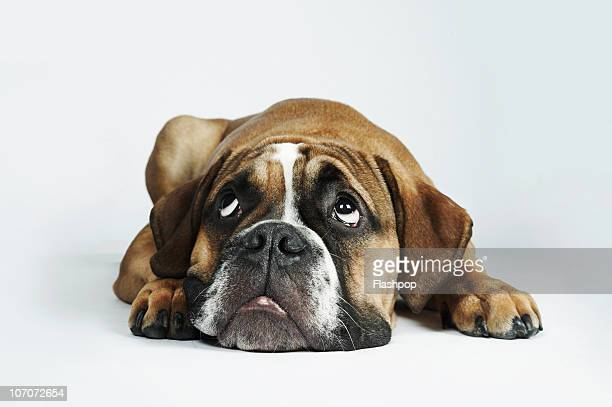 Portrait of Dorset Old Tyme Bulldog