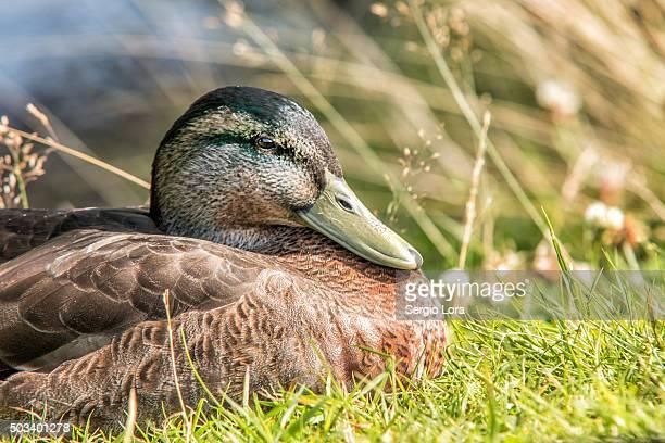 Portrait of duck in loch Ness