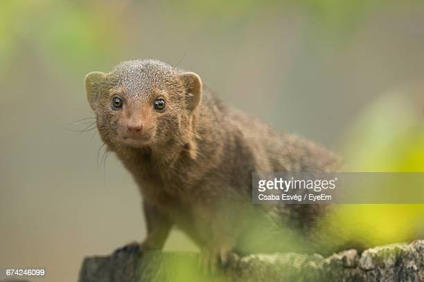 Portrait Of Dwarf Mongoose Outdoors