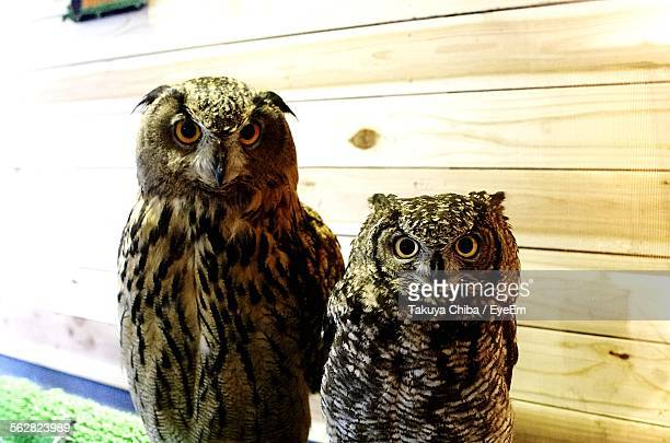 Portrait Of Eagle Owls Against Wall In Cafe