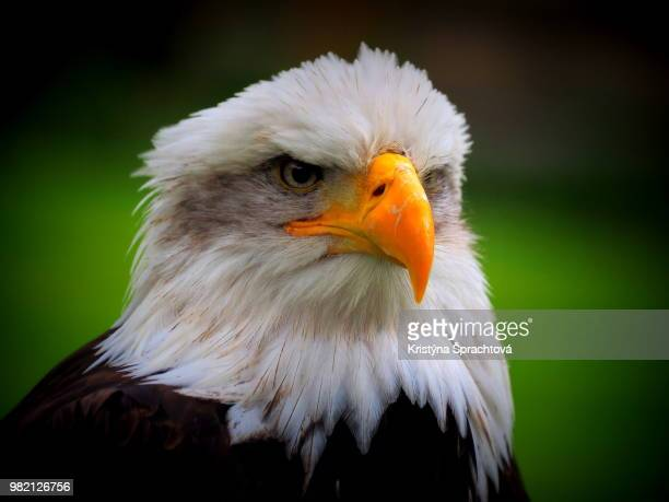 portrait of eagle - czech hunters stock pictures, royalty-free photos & images