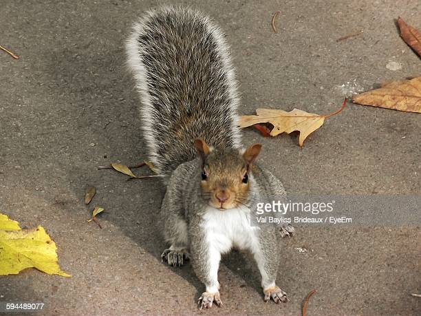 portrait of eastern gray squirrel with leaves on road - eastern gray squirrel stock photos and pictures