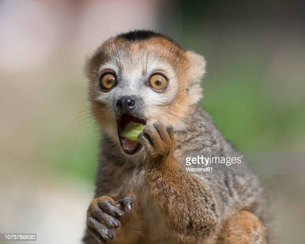 portrait of eating crowned lemur with eyes wide open - animal themes stock pictures, royalty-free photos & images