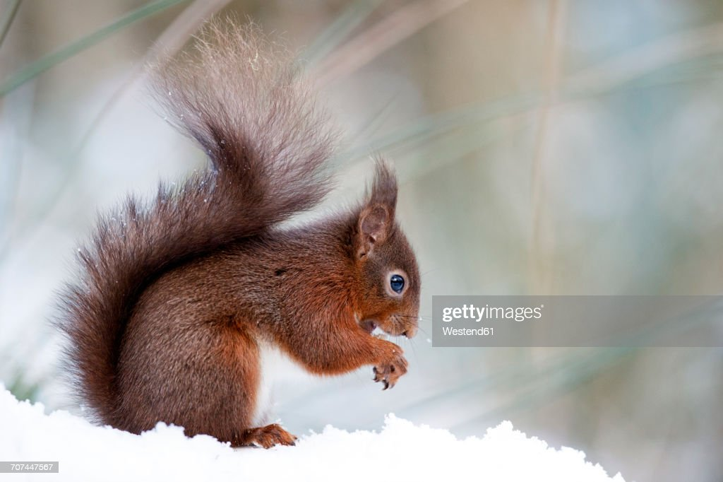 Portrait of eating Eurasian red squirrel in snow : ストックフォト