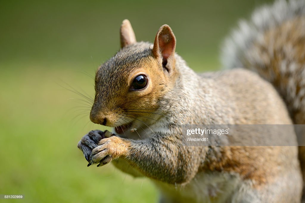Portrait of eating Grey squirrel, Sciurus carolinensis : Stock Photo