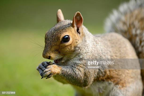 portrait of eating grey squirrel, sciurus carolinensis - eastern gray squirrel stock photos and pictures