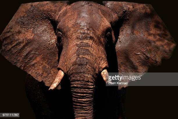portrait of elephant, amboseli national park, kenya - tusk stock pictures, royalty-free photos & images