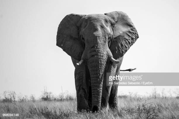Portrait Of Elephant Standing On Grassy Field Against Clear Sky