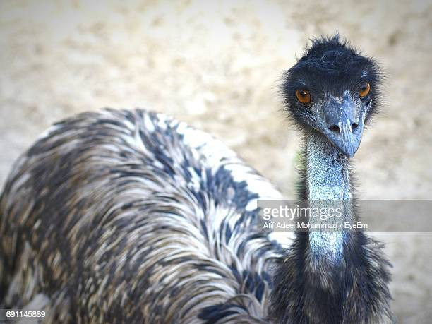 portrait of emu on field - emu farming stock pictures, royalty-free photos & images