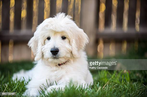 portrait of english goldendoodle puppy - goldendoodle stock-fotos und bilder