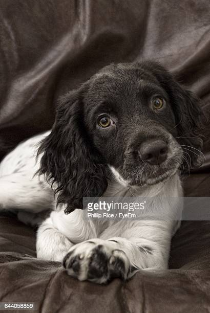 Portrait Of English Springer Spaniel Resting On Couch