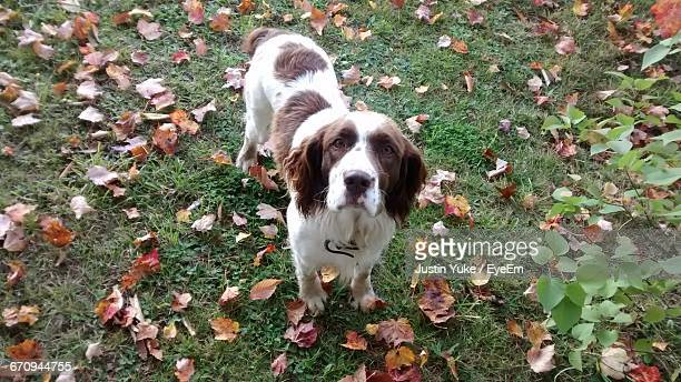 portrait of english springer spaniel standing on field during autumn - english springer spaniel stock pictures, royalty-free photos & images